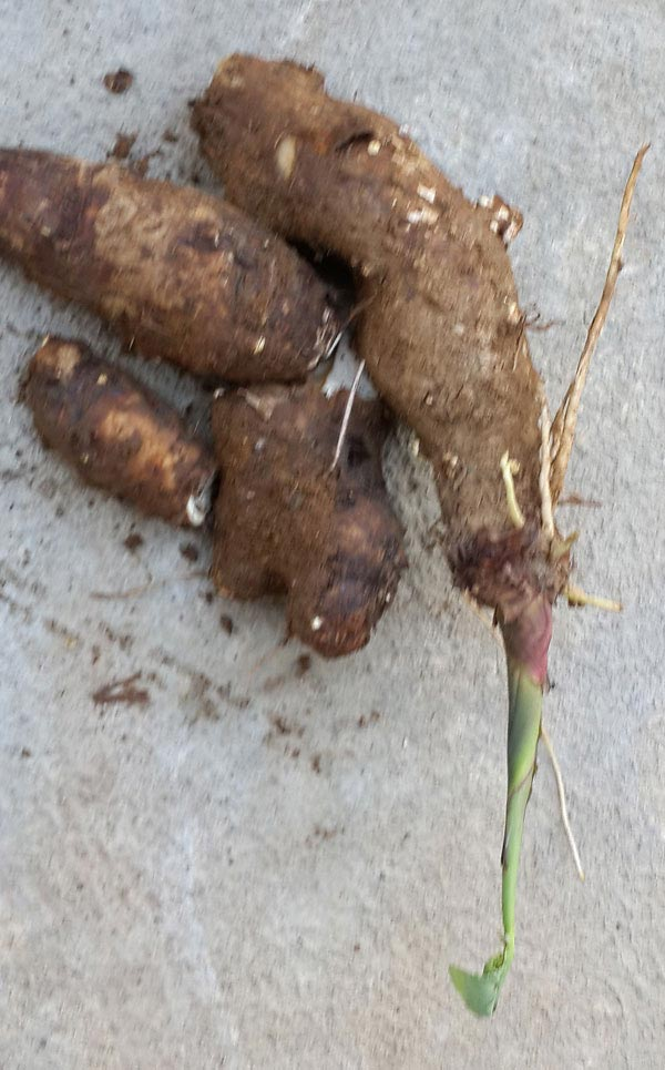 Taro Root freshly dug from the garden.