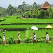 Walking on ricefields