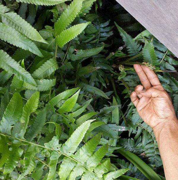 For a variation on this recipe, use Curley Fern tips instead of the Turi Flower. Use the tip of the fern that's soft – about 10cm, maximum. Fern Tip is super yummy and very nutritious.