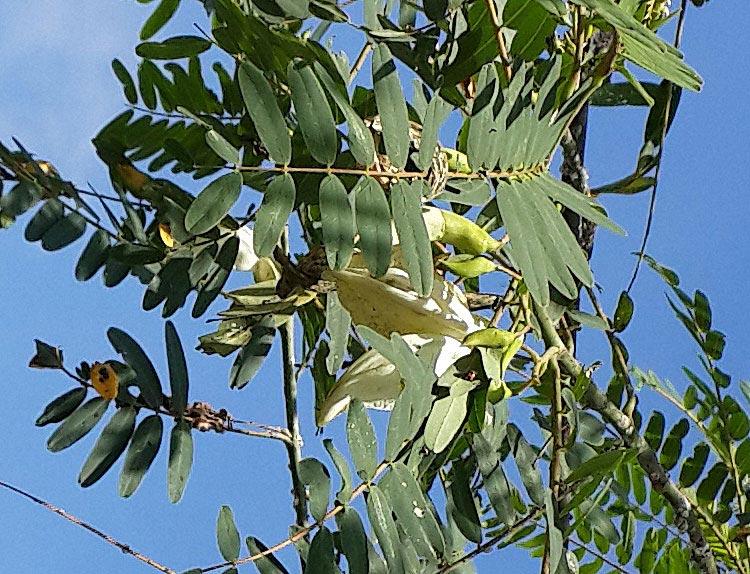 Turi tree and flower