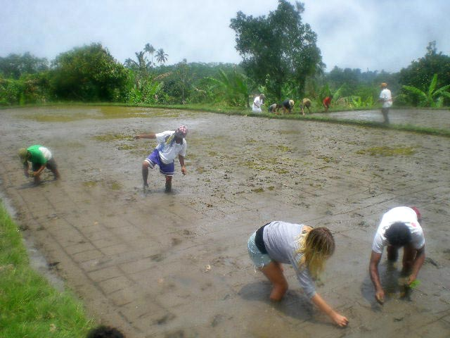 Volunteers plant organic heritage rice for SRI farming, a dry rice farming method. (This crop yielded 15% more rice, than the conventional chemically fertilized and weeded system.)