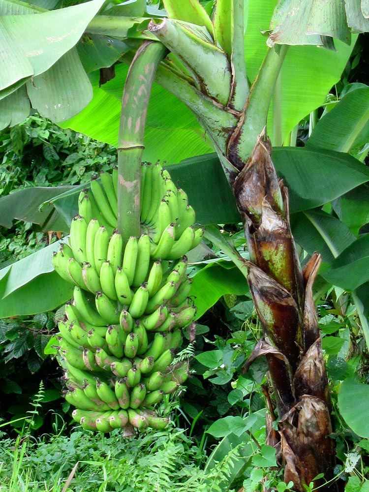 Bananas Bananas Bananas – 19 species You can read about them, their uses and properties. Ask the office for the Banana Descriptions.