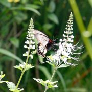 Butterfly on kumins kucing