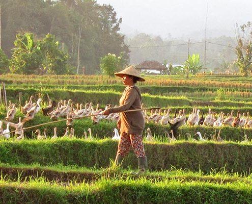 Ducks after harvest