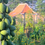 Papaya in the garden