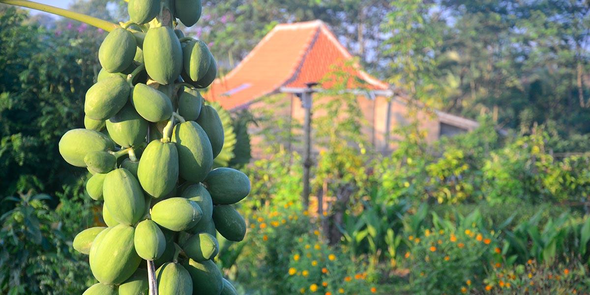 Papaya in the garden