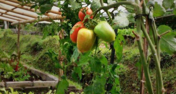 Bali Silent Retreat - Mrs.SSSSS - Tomat Super Strong Self Sustaining Seedlings Tomatoes